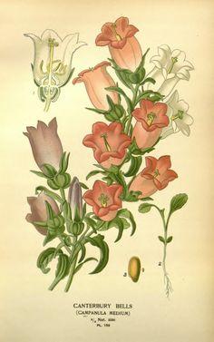 Campanula carpatica illustration FAVOURITE FLOWERS OF GARDEN AND GREENHOUSE V03, EDWARD STEP, 1896