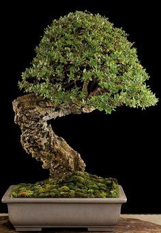 Cork Oak (Quercus suber) by Salvatore Liporace