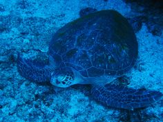 Tofo - Green Turtle