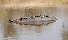 Um hipopótamo amigável permite um descanso dúzia de tartarugas de água doce em sua parte traseira, em setembro de 2014, no Parque Nacional de Kruger, África do Sul.  Hipopótamos são normalmente animais agressivos, mas este gigante gentil parecia ter um fraquinho por as tartarugas.