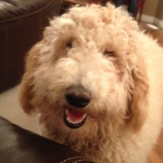 Just the best!  Elmer is a Goldendoodle and we love him!
