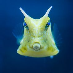 Cowfish by izzy's-photos, via Flickr. These fish make me laugh - just delightful!