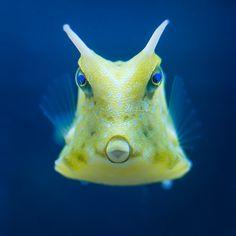 Cowfish-My favorite saltwater fish