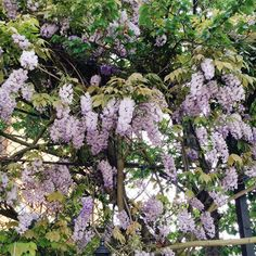 Finding the last of the Wisteria in East Dulwich today! A perfect celebration of this beautiful time of year. by emilyquinton Wisteria Garden, Cool Photos, Interesting Photos, Carnations, Beautiful World, Vines, Flora, Celebration, Rose