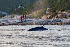 Whale watching in Tadoussac, Quebec is an experience of a lifetime. This post highlights all you need to know about whale watching in Quebec. Old Quebec, Quebec City, Whistler, Banff, Ottawa, Parc National, National Parks, Saguenay Quebec, Travel