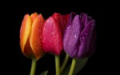 Orange Red Purple Tulips Wallpapers Pictures Photos Images