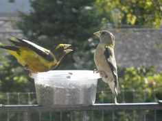 Evening Grosbeaks fight over Sunflower Seeds, Londonderry Inn Vermont