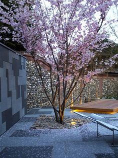 #pink #cherry #petals #spring #garden #prunus #accolade #glorious #blossoms Mylandscapes Garden Design, Essex project.