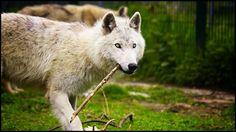 Stunning White Wolf | ... animals 2013 2014 whitespiritwolf polar wolf same wolf photo by me