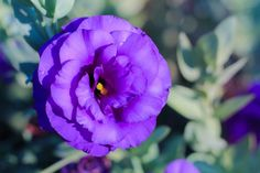 Lisianthus flowers have a resemblance to rose but it comes with deep purple shades.