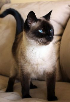 The Siamese cat is one of the first distinctly recognized breeds of Oriental cat.