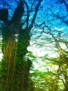 Mango Grove in Puna,Hawaii