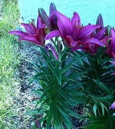 Asiatic Lily:  Zone 4 Perrenial I would love to add  this color Lily to my Lily garden!