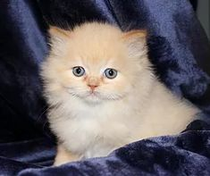 Red Sable Ragamuffin Kitten from GW Muffins Ragamuffin Kittens, Cute Cats And Kittens, Kitty Cats, Cute Baby Animals, Animals And Pets, Blonde Cat, Cat Hat, Fluffy Cat, Cat Breeds
