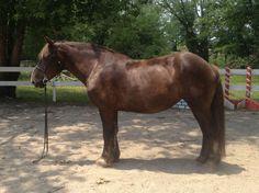 sugarbush draft horse | ... original Sugarbush Draft Stallion, Sugarbush Harley's Classic O