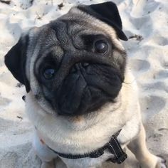 In the event you are looking at a secret spouse doggy, your pug is actually Cute Pugs, Cute Funny Animals, Cute Baby Animals, Baby Pugs, Silly Dogs, Cute Animal Photos, Pug Puppies, Happy Animals, Pug Love
