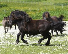 Shetland pony stallion cantering past his mares   Flickr - Photo ...640 x 512   171.7KB   www.flickr.com