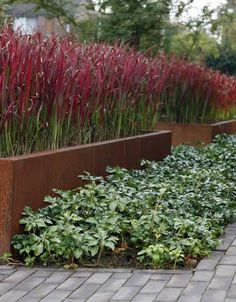 option: I Imperata cylindrica 'Red Baron' Red Baron Japanese Blood Grass. Warm season, for about 5 months. Garden Design, Hardscape, Plants, Contemporary Garden, Backyard Landscaping, Ornamental Grasses, Garden Planning, Modern Garden Design, Prairie Garden
