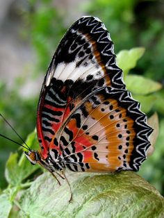 The Leopard Lacewing (Cethosia cyane).