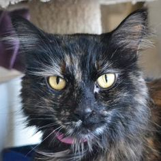 Chloe is 10 years old and at Lollypop Farm because her family could no longer care for her. She is a beautiful long-haired tortoiseshell who is very friendly with people and loves other cats, too! Chloe is eligible for the Seniors-for-Seniors program so approved adopters age 60 and older can bring her home for free!
