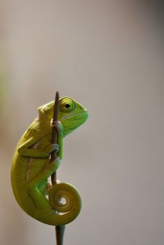 Veiled Chameleon | by Michael Molthagen