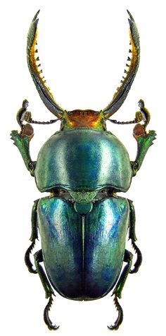 Iridescent   ∞∞∞∞∞∞∞∞∞∞∞∞∞∞∞∞∞∞∞∞∞∞∞∞∞∞∞∞    Neolamprima adolphinae Beetle Insect, Beetle Bug, Insect Art, Cool Insects, Bugs And Insects, Insect Photos, Cool Bugs, Carapace, Beautiful Bugs