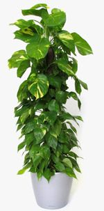 "10 Best Indoor Plants for Men. Golden Pothos A great hanging plant, the Golden Pothos has long vines of heart-shaped leaves and, according to Gatanas, ""grows like a weed"". It requires more water than most houseplants, but that's the only drawback. It can thrive in indirect sunlight, 40-degree temperatures and is great at removing airborne formaldehyde."