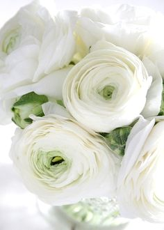 White Ranunculus I love how it has the tinges of green