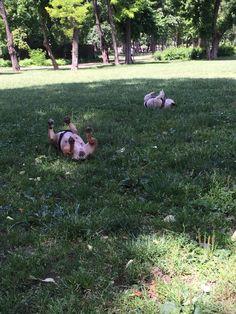 D&I, French Bulldogs doing the Frenchie Wiggle
