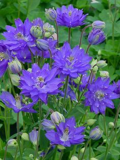 Buy Columbine Seeds from Swallowtail Garden Seeds. Huge selection of columbines. Single and double flowers, tall and dwarf plants. Columbine flowers attract hummingbirds and butterflies. Plants are deer and rabbit resistant. Amazing Flowers, Purple Flowers, Beautiful Flowers, Beautiful Gorgeous, Exotic Flowers, Yellow Roses, Spring Flowers, Pink Roses, Garden Shrubs