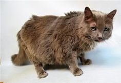 ***TO BE DESTROYED 11/22/17*** 12 year old Victory is hoping someone wants a fuzzy senior boy for the holidays. He has dental issues which will need a follow up vet visit and some grooming. Adopt a snuggle buddy today! Already neutered and ready to go!