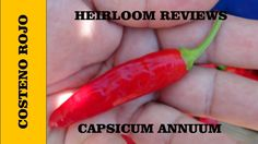 ⟹  Costeno Rojo - Pepper Capsicum annuum 12000 shu!! VIDEO
