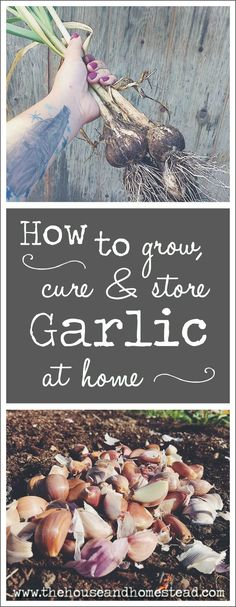 Garlic is one of the easiest crops to grow at home, and growing it yourself means you can be sure you're reaping the full health benefits of garlic while ensuring your garlic is safe and natural. Learn how to grow, cure and store garlic at home for good eating all year long! #Gardening