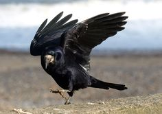 Rook in the wind at Hornsea Photo: Tom Wood