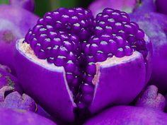 Purple Pom!