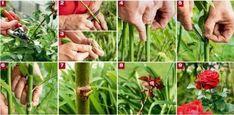 renovat.ro: Amenajarea unei gradini cu trandafiri | Cum se prind butasii Planting Herbs, Plants, Garden, Herbs