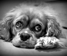 The only thing better than a puppy Cavalier, is their grandpa... what a handsome, sweet love.