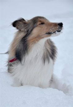 Nookie, Misty and Murphy...greatest shelties ever! This picture though is a wonderful Snow Sheltie.