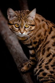 The African Black Footed Cat (Felis nigripes), the smallest African cat, is endemic in the southwest arid zone of the southern African subregion* / by David Orias I Love Cats, Crazy Cats, Big Cats, Cool Cats, Cats And Kittens, Beautiful Cats, Animals Beautiful, Cute Animals, Wild Animals