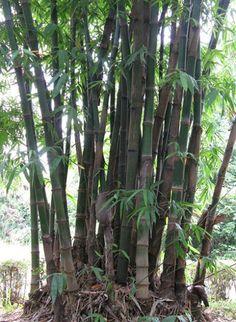 Bamboo Seeds Catalog — มีเมล็ดพันธุ์ไผ่จำหน่าย: DENDROCALAMUS GIGANTEUS (?) — SEEDS AVAILABLE