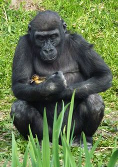 A gorilla takes care of a lost baby duckling at Bristol Zoo.