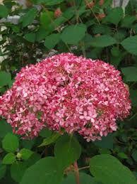 Hortensje to jedne z najpiękniejszych roślin ogrodowych. Ich piękne kwiaty zdobią nasze ogrody od wielu lat. Jednym z rodzajów hortensji jest Hortensja Drzewiasta. Hortensja Drzewiasta.