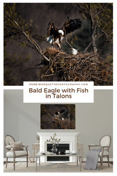Are you looking for American bald eagle photography wall art?   This bald eagle with fish in talons is beautiful bald eagle nature photography for your home or office.   It also makes a great gift for housewarming or birthdays.   Click to see more eagle photography art and options.  #baldeaglephotography #americanbaldeaglephotography #baldeaglewithfish #eaglephotographyart #baldeaglenaturephotography