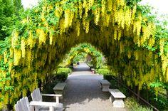Golden Chain Tree arbor in Bayview