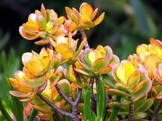 Yellow succulents by Vaguely Artistic, via Flickr