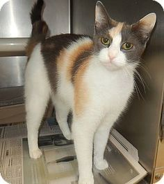 Pictures of Kim a Domestic Shorthair for adoption in Newport, NC who needs a loving home.