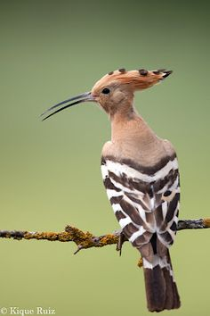 Abubilla or Hoopoe is a colourful bird that is found across Afro-Eurasia, notable for its distinctive 'crown' of feathers. It is the only extant species in the family Upupidae.