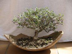 bonsai olivo - Buscar con Google