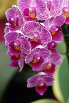 Also known as Doritaenopsis Sogo Vivien, the magenta-striped, pink to lavender flowers of this hybrid will charm many orchid lovers.