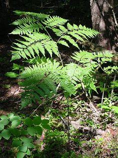 Bracken ferns are poisonous & carcinogenic.